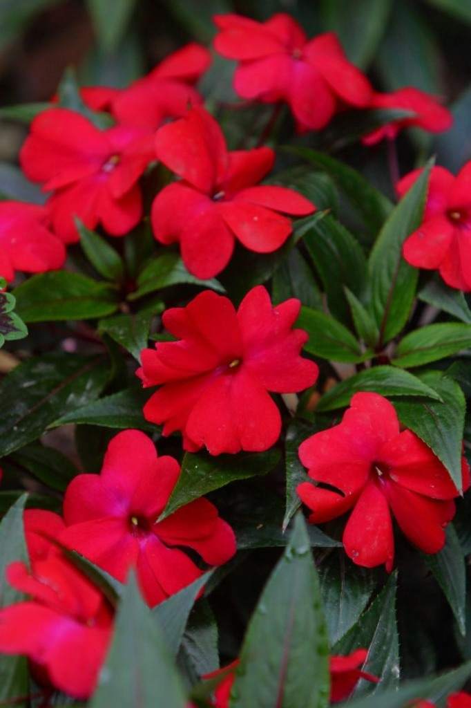 Picture of Impatiens hawkeri 'Infinity® Cherry Red' Infinity® Cherry Red New Guinea Impatiens