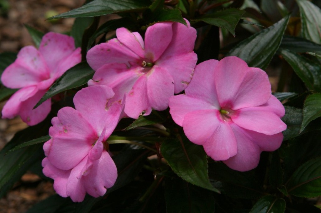 Picture of Impatiens x hawkeri 'Infinity® Pink Kiss' Infinity® Pink Kiss Impatiens