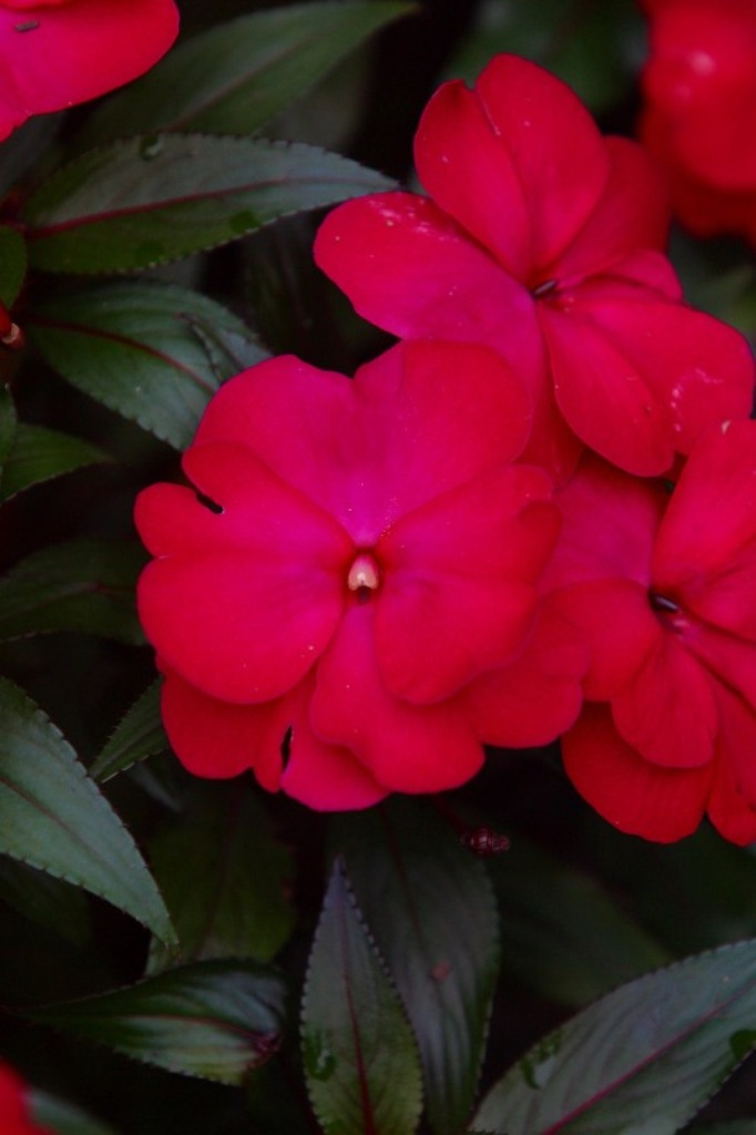 Picture of Impatiens x hawkeri 'Infinity® Ruby Flash'  Infinity® Ruby Flash Impatiens