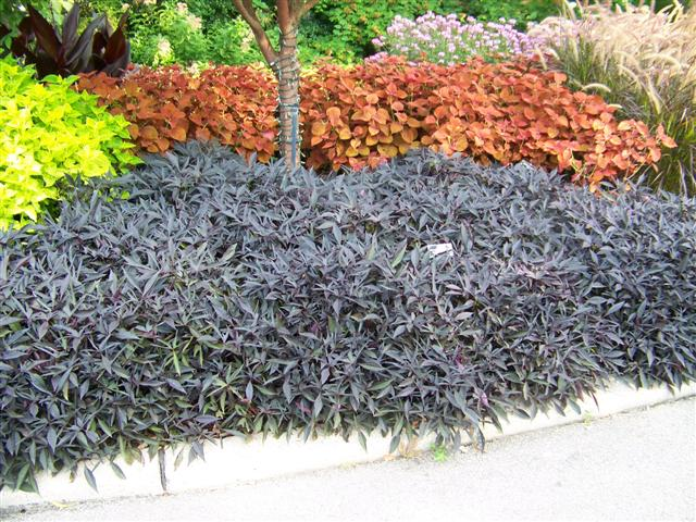 Picture of Ipomoea  Illusion® Midnight Lace Illusion® Midnight Lace Sweet Potato Vine