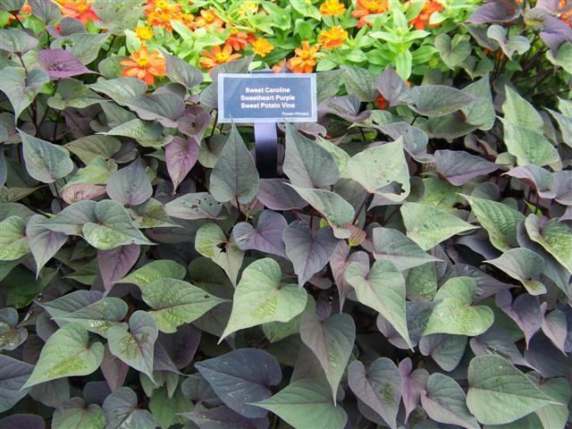 Picture of Ipomoea batatas 'Sweet Caroline Sweetheart Purple' Sweet Caroline Sweetheart Purple Sweet Potato Vine