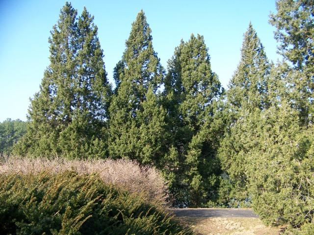 Juniperus chinensis JuniperuschinensisKeteleeri.JPG