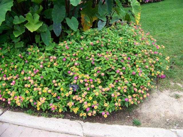 Picture of Lantana  Luscious® Berry Blend™ Luscious® Berry Blend™ Lantana