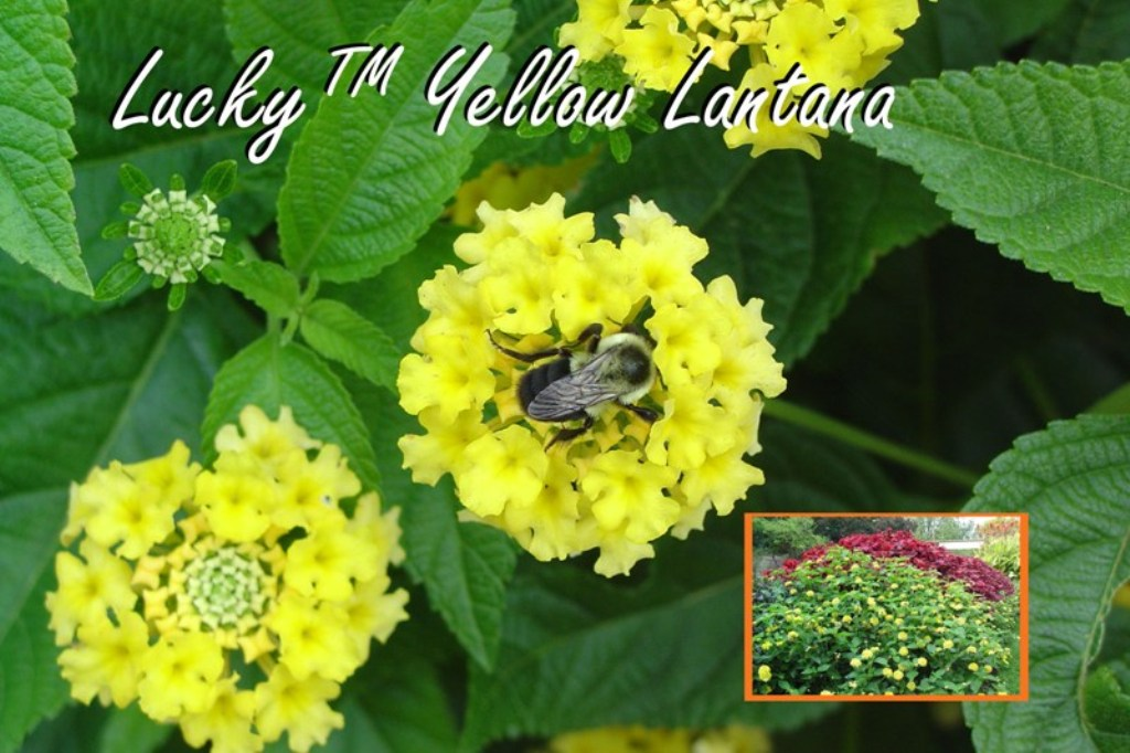 Picture of Lantana  camara 'Lucky Yellow' Lucky Yellow Lantana