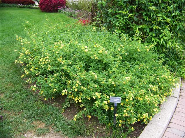 Picture of Lantana  Luscious® Lemonade Luscious® Lemonade Lantana