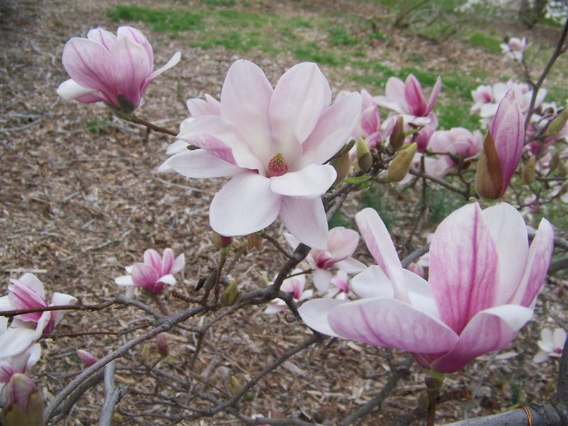 magnolia x soulangeana saucer magnolia picture detail. Black Bedroom Furniture Sets. Home Design Ideas