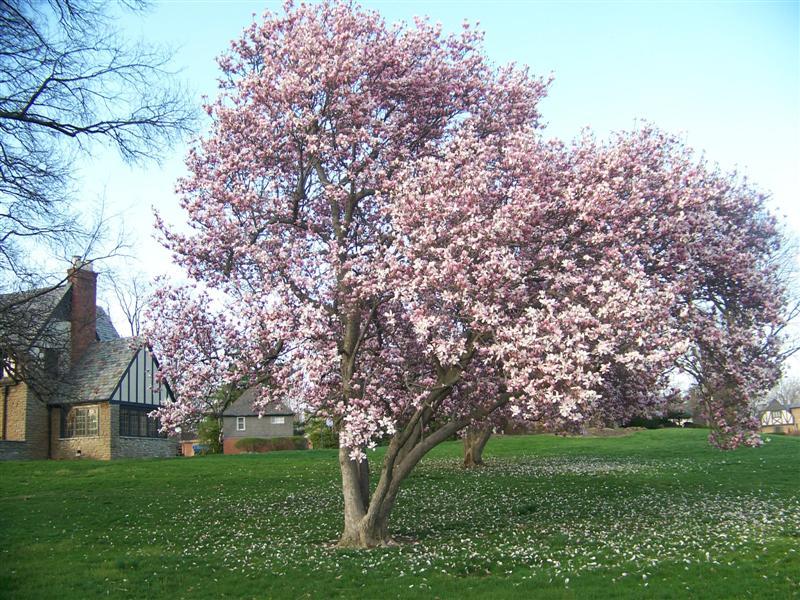magnolia x soulangeana saucer magnolia on. Black Bedroom Furniture Sets. Home Design Ideas