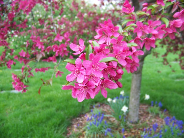 Picture of Malus sp. 'Prairifire' Prairifire Crabapple