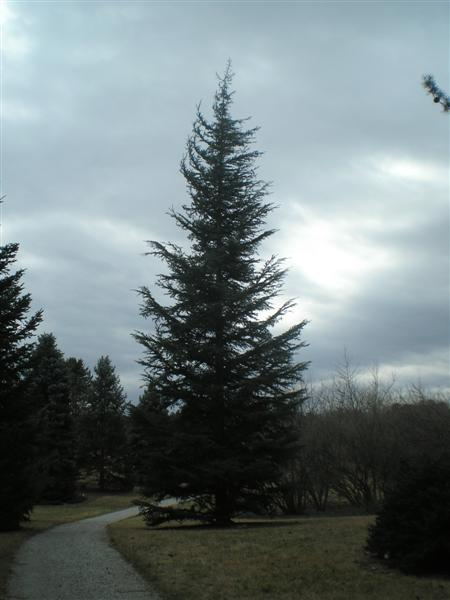 Cedrus libani var. stenocoma PC070281(Medium).JPG