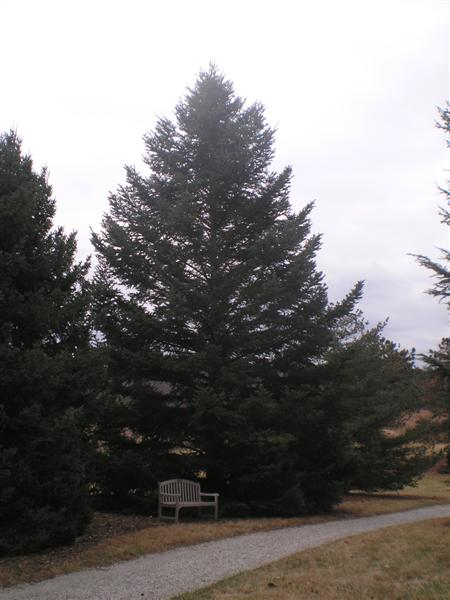 Picture of Abies holophylla  Manchurian Fir or Needle Fir