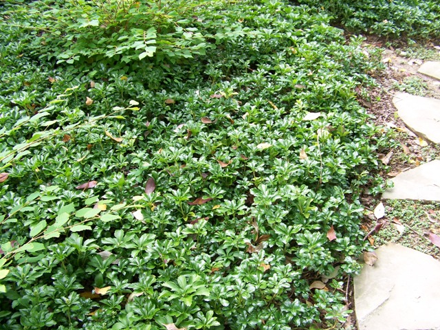 Picture of Pachysandra terminalis 'Green Sheen' Green Sheen Japanese Spurge