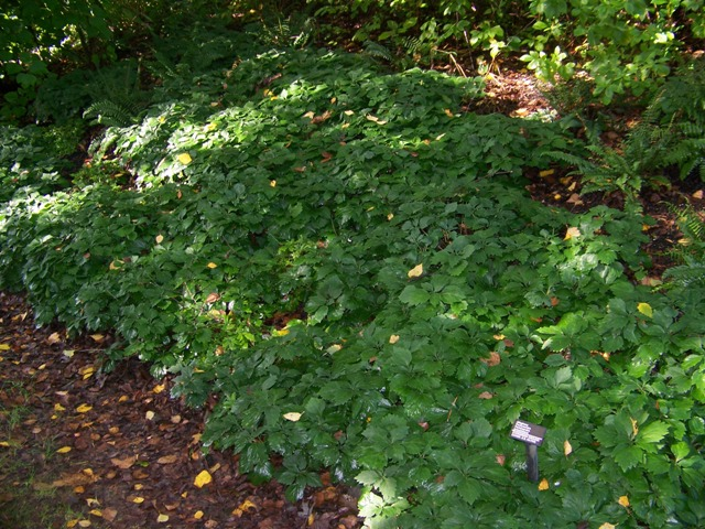 Picture of Pachysandra procumbens  Alleghany Spurge