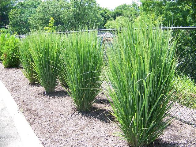 Panicum virgatum 39 northwind 39 northwind switch grass on for Tall ornamental grasses for shaded areas