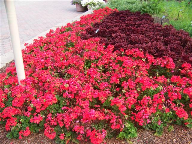 Picture of Pelargonium  'Caliente® Orange' Caliente® Orange Geranium