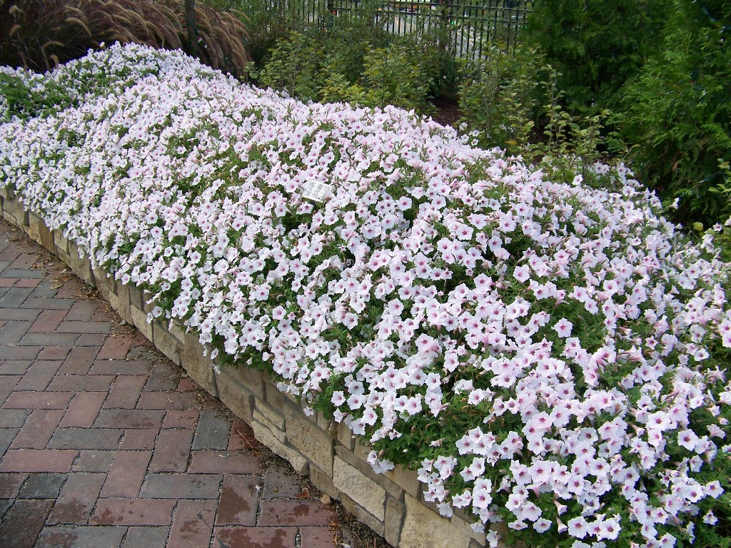 Picture of Petunia  hybrid 'Supertunia® Vista Silverberry' Supertunia® Vista Silverberry Petunia