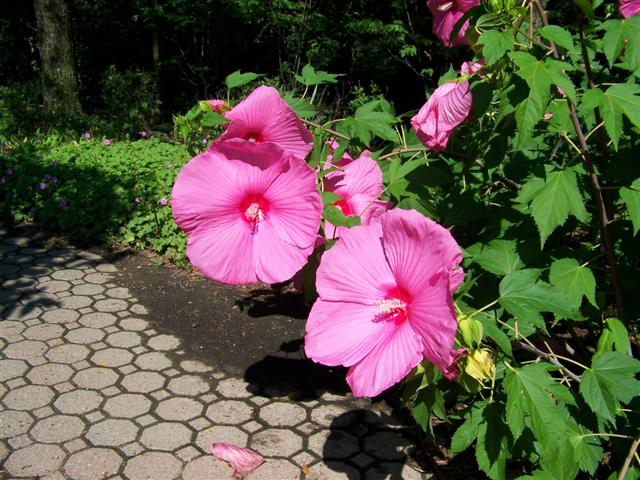 Picture of Hibiscus  'Pink Cloud' Pink Cloud Rose Mallow