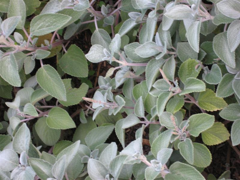 Plectranthus  Plectranthus_silver_shield_close.JPG