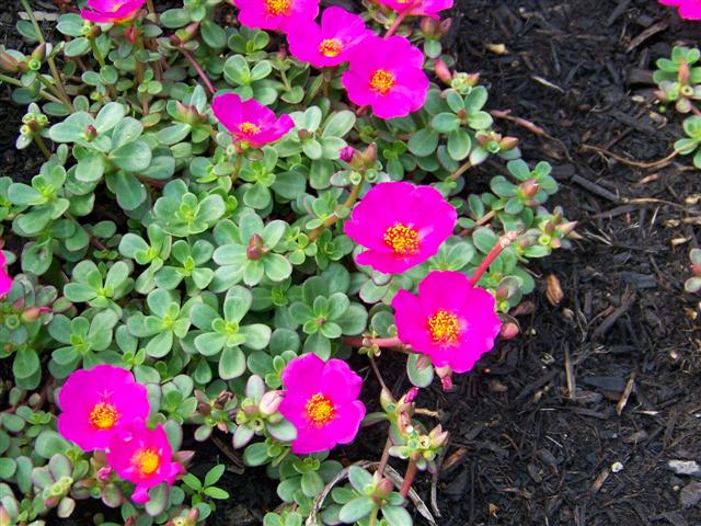 Picture of Portulaca  Cupcake Grape Jelly Cupcake Grape Jelly Moss Rose