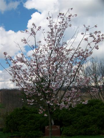 Picture of Prunus subhirtella 'Autumnalis' Autumn Flowering Higan Cherry