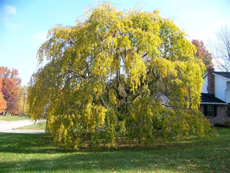 Picture of Prunus subhirtella var. pendula  Weeping Cherry
