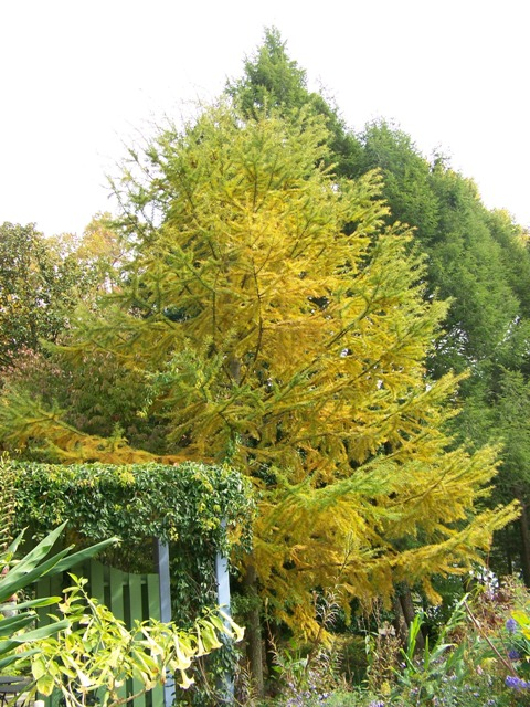 Picture of Pseudolarix kaempferi  Golden Larch