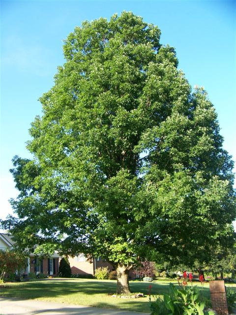 Quercus alba White Oak> on PlantPlaces.com  Quercus alba Wh...