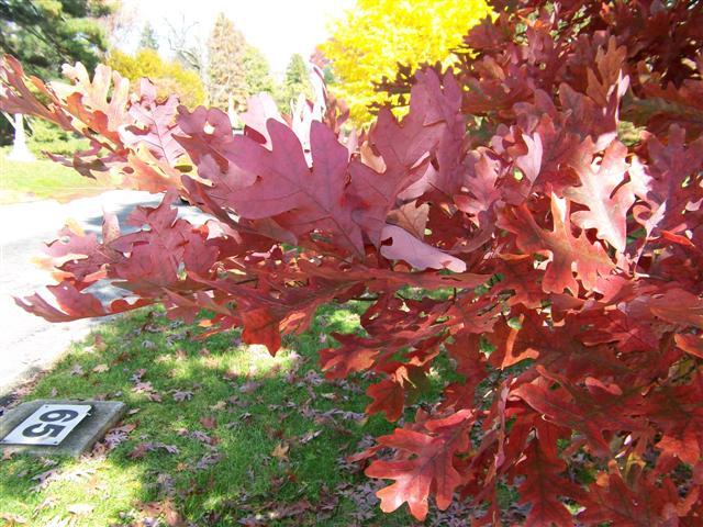 Quercus alba white oak gt on plantplaces