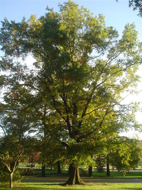 Picture of Quercus phellos  Willow Oak