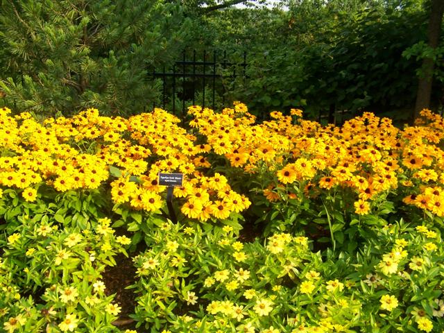 Picture of Rudbeckia hirta Tiger Eye Gold Tiger Eye Gold Blackeyed Susan