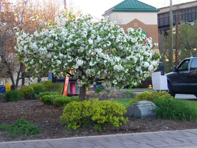 Malus sargentii sargent flowering crabapple on for Arbustos de jardin