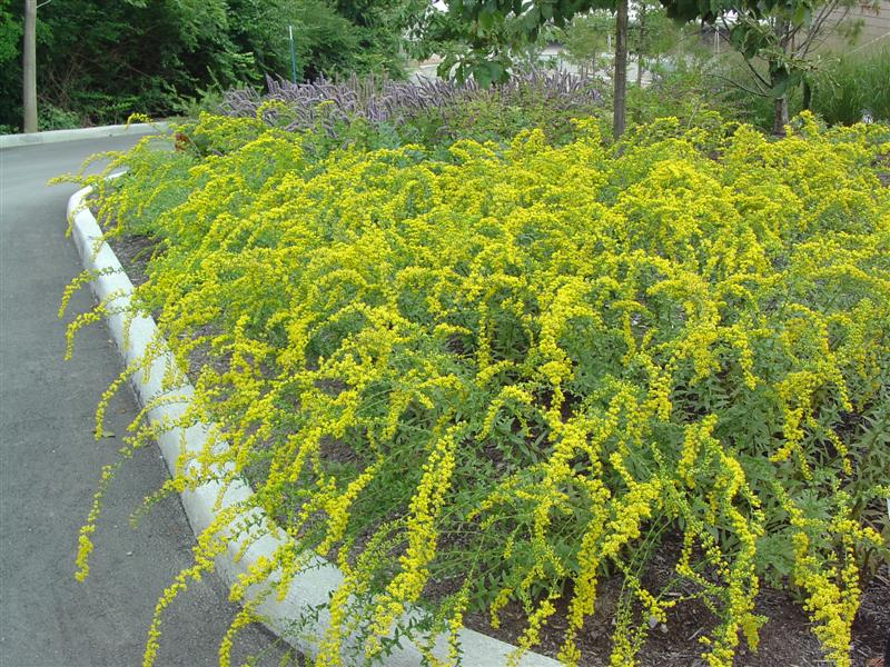 Picture of Solidago shortii  Short's Goldenrod