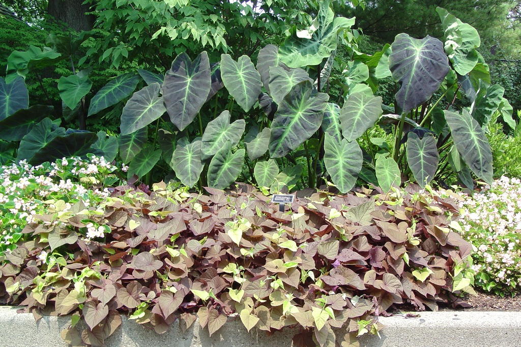 Picture of Ipomoea batatas 'Sweet Caroline Sweetheart Red' Sweet Caroline Sweetheart Red Sweet Potato Vine