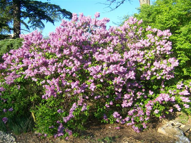 Picture of Syringa x hyacinthiflora 'Assessippi' Assessippi Lilac