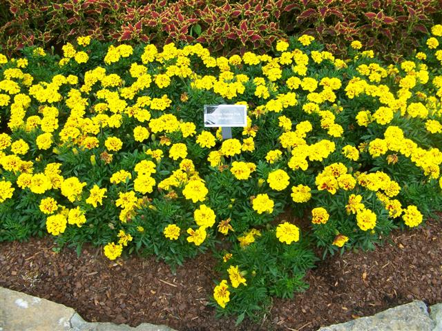 Picture of Tagetes erecta 'Aurora Yellow Fire' Aurora Yellow Fire Marigold