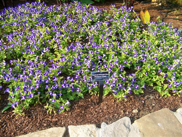 Picture of Torenia  Catalina® Midnight Blue Catalina Midnight Blue Wishbone Flower