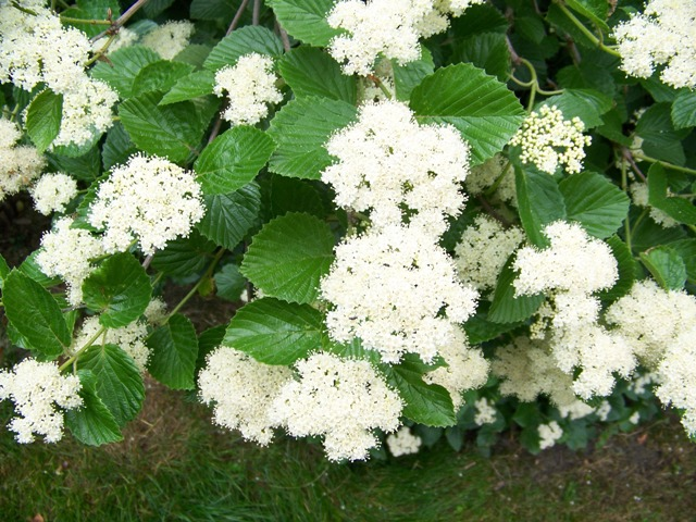 Picture of Viburnum dentatum 'Morton' Northern Burgundy® Northern Burgundy Arrowwood Viburnum