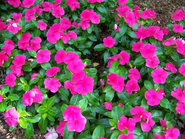 Picture of Catharanthus roseus 'Titan Punch' Titan Punch Vinca