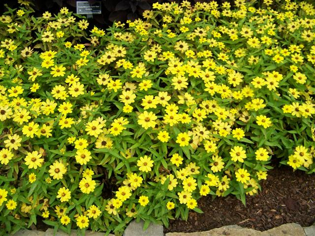 "Picture of Zinnia  Zaharaâ""¢ Yellow Zinnia"