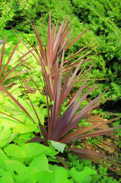 Picture of Cordyline australis 'Red Star' Red Star Cordyline