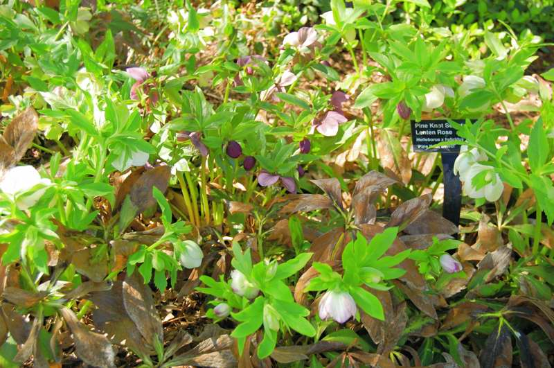 Picture of Helleborus x hybridus 'Pine Knot Select' Pink Knot Select Lenten Rose