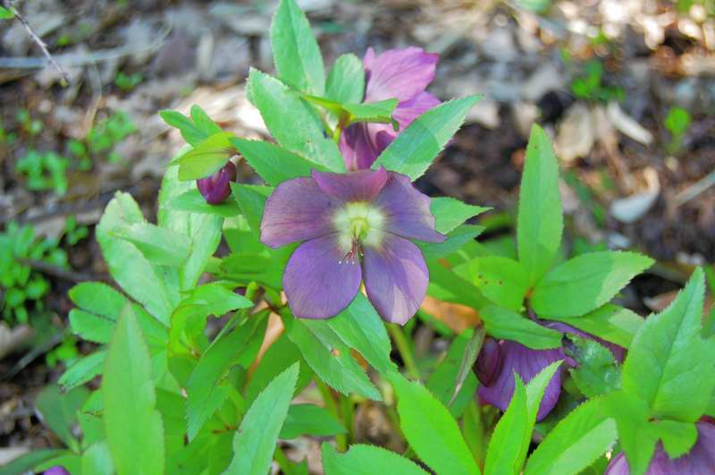 Picture of Helleborus x hybridus 'Red Lady' Red Lady Lenten Rose