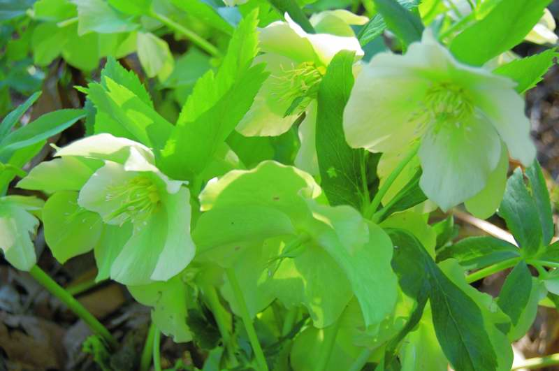 Picture of Helleborus x hybridus 'Yellow Lady' Yellow Lady Lenten Rose