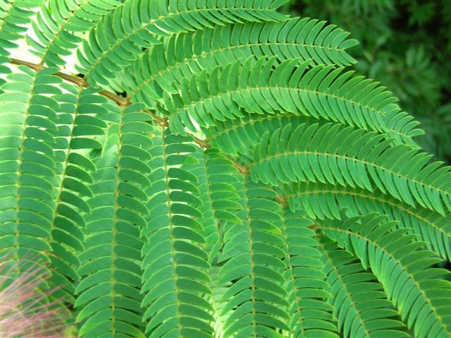 Picture of Albizia julibrissin  Albizia or Silk-tree or Mimosa