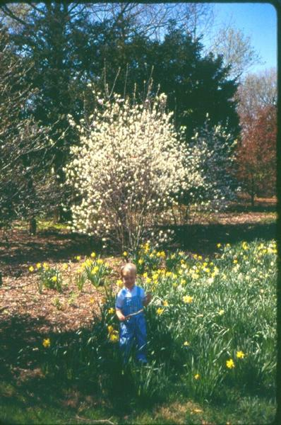 Picture of Amelanchier x grandiflora 'Princess Diana' Princess Diana Apple Serviceberry