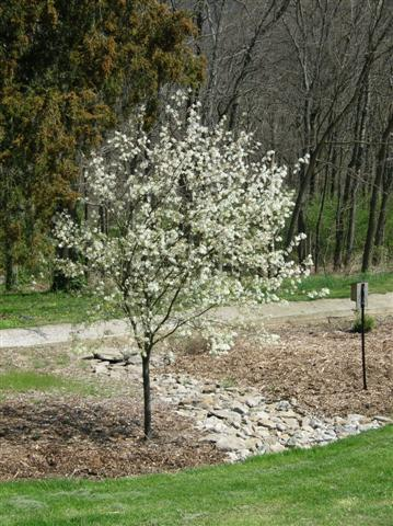 Picture of Amelanchier x grandiflora 'Autumn Brilliance' Autumn Brilliance Serviceberry