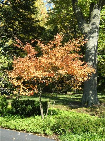 Picture of Amelanchier x grandiflora  Apple Serviceberry