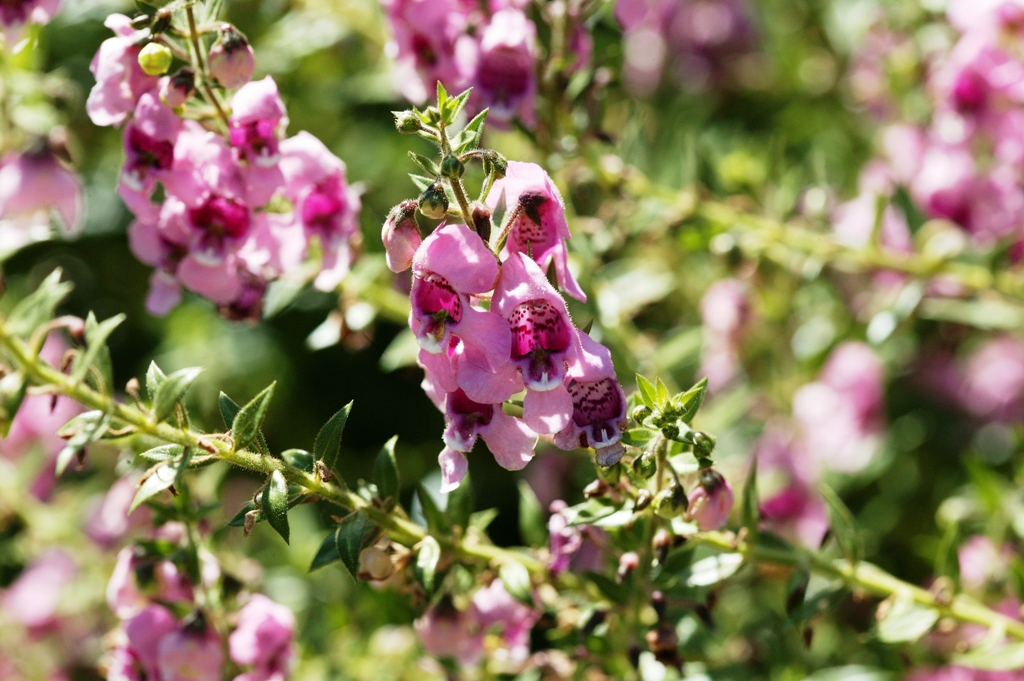 "Picture of Angelonia augustifolia 'Appliqueâ""¢ Pink' Appliqueâ""¢ Pink Summer Snapdragon"