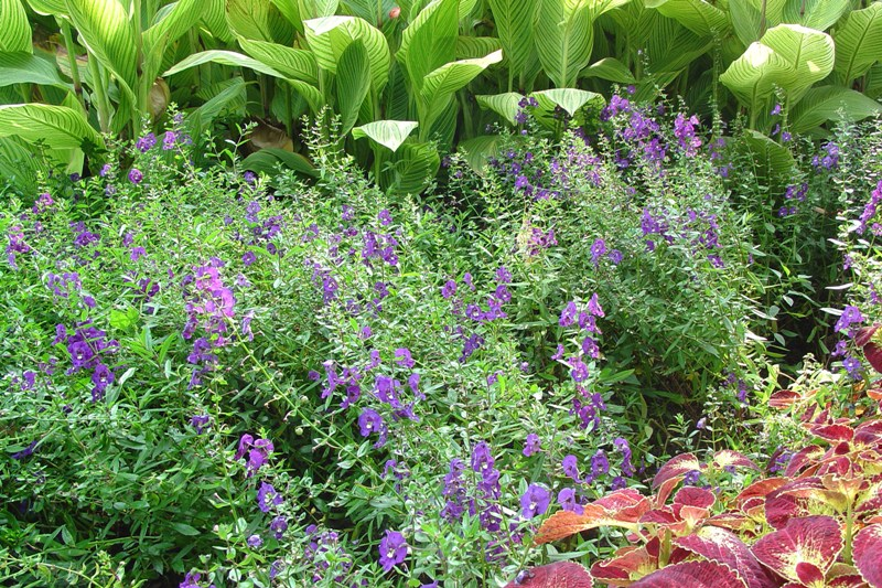 Picture of Angelonia augustifolia 'Angelface® Blue' Angelface® Blue Summer Snapdragon