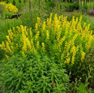 Picture of Baptisia sphaerocarpa  Yellow Wild Indigo