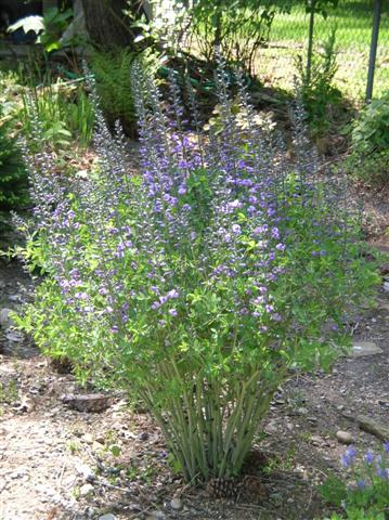 Picture of Baptisia  'Purple Smoke' Purple Smoke Baptisia or Purple Smoke Wild Indigo